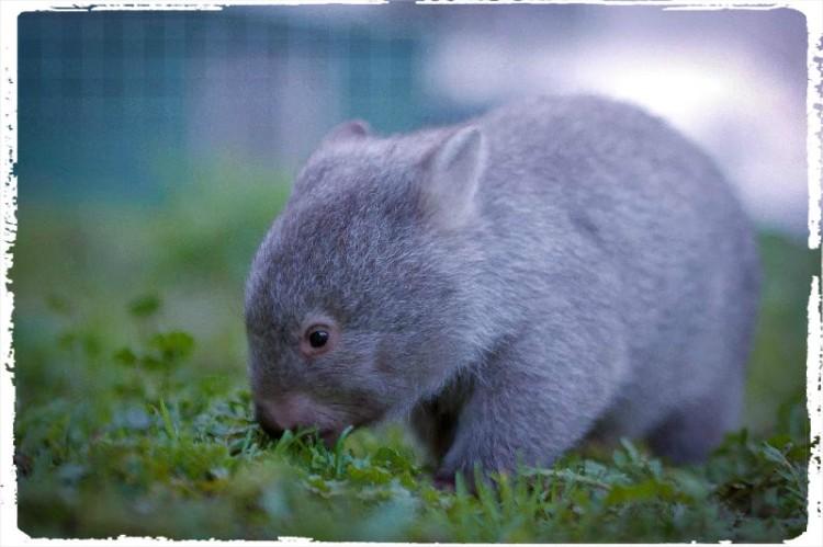 Cuteness Alert : Derek the Wombat  all grown up. Credit : Tourism Tasmania